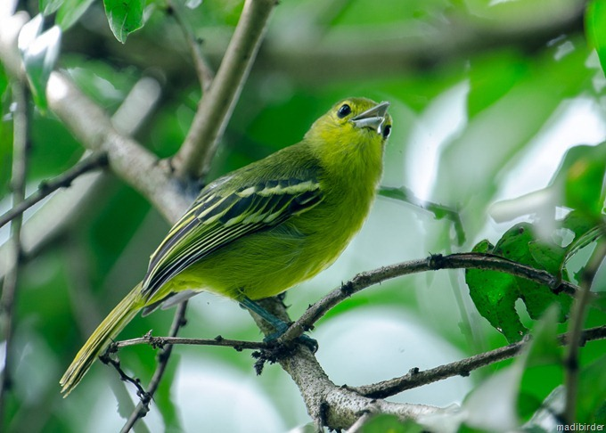 Cipoh jantung atau Green Iora (Aegithina viridissima)