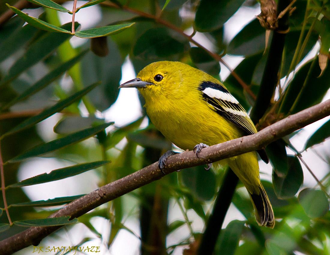 Panduan Memilih Burung Cipoh Bakalan Dalam Kandang Ombyokan Om Kicau
