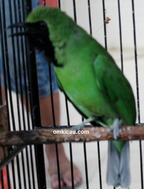 Cucak hijau Pedro