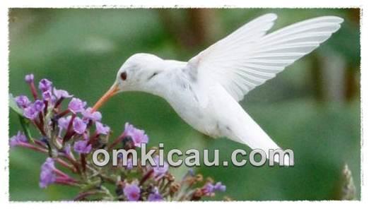 Meski pemakan nektar namun kolibri tidak bisa rasakan manisnya gula