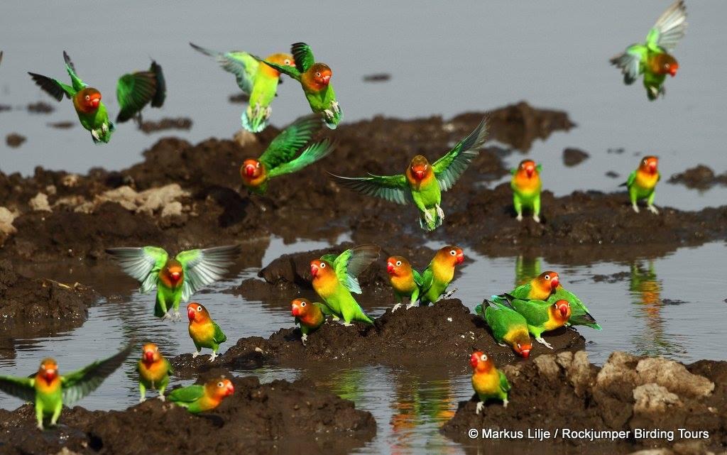 Psitacossis pada burung paruh bengkok