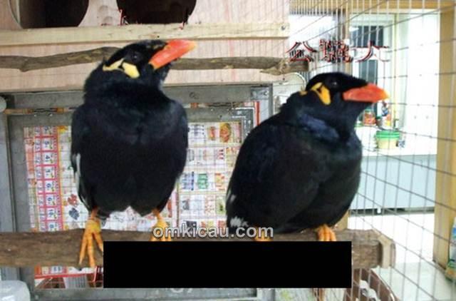 Bentuk tubuh burung beo