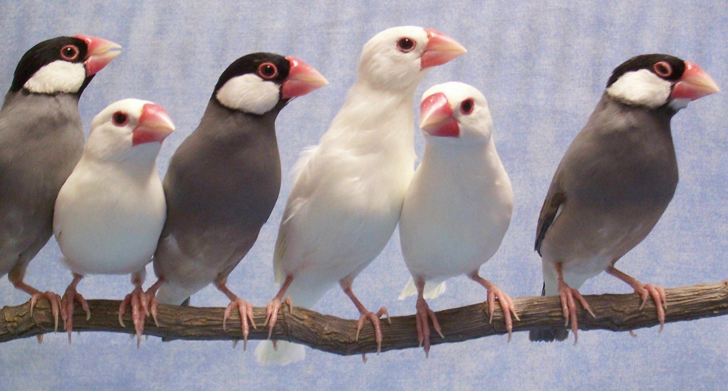 Burung gelatik jawa
