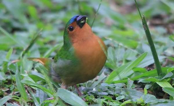 Bondol-hijau Dada-merah atau Tawny-breasted Parrot-finch (Erythrura hyperythra)