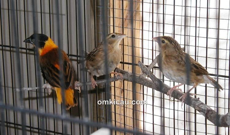 Menangkar burung manyar