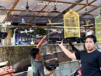 Bteeding lovebird JP Bird Farm Depok