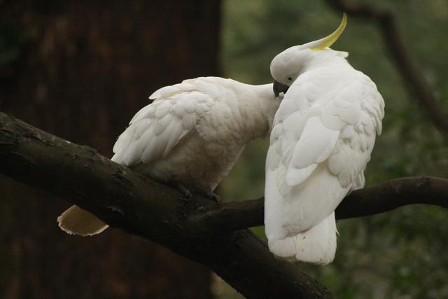 preening pada burung