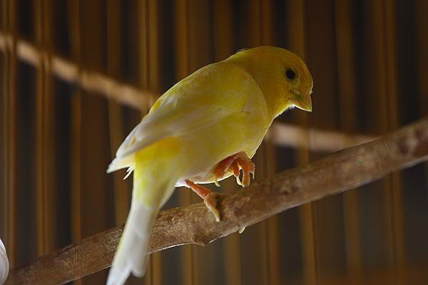 Urat kaki burung menonjol