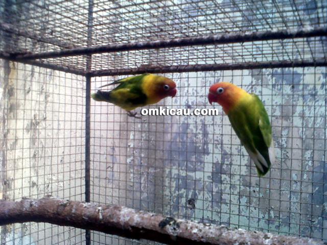 Arief Adi Bird Farm Pati