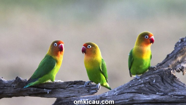 inilah alasan mengapa lovebird standar berwarna hijau