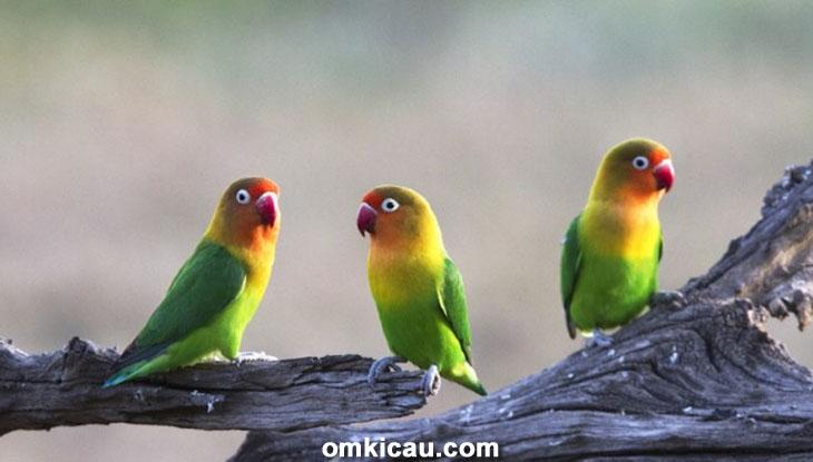 Warna bulu lovebird standar