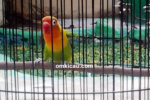 Lovebird Sukowati milik Ryan