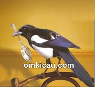 magpie maling