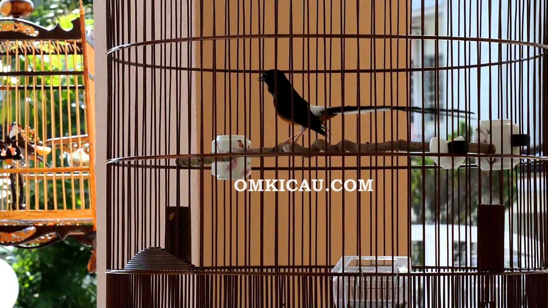 masalah burung murai batu