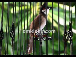 Burung merbah jambul atau kutilang jambul