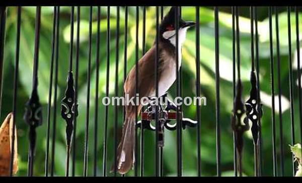 Burung merbah jambul atau kutilang jambul malaysia