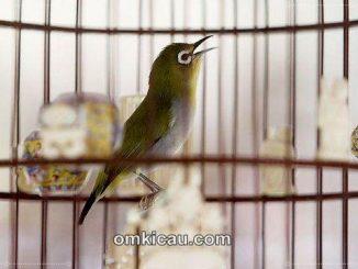 Membuat voer tinggi protein untuk burung