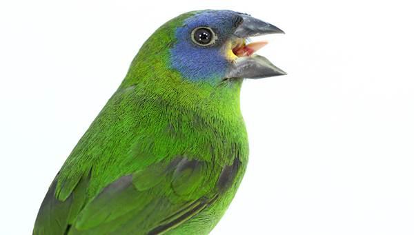 Kelompok burung dari bondol hijau atau parrot finch cukup dikenal di kalangan penggemar burung finch
