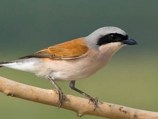 Red backed shrike