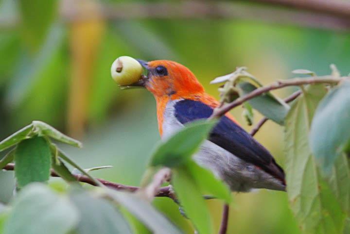 Burung kemade atau burung cabe-cabean yang sedang menyantap buah kersen di halaman rumah