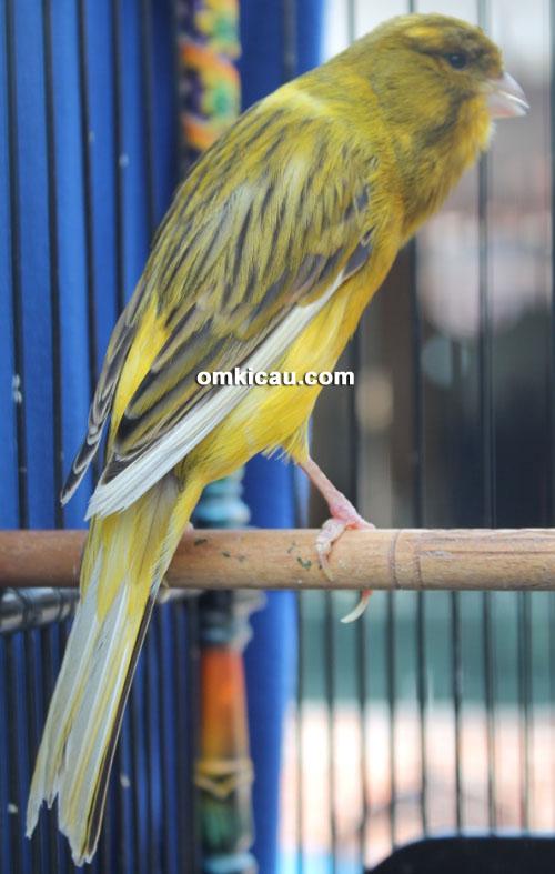 Salah satu Gacoan Crown Canary