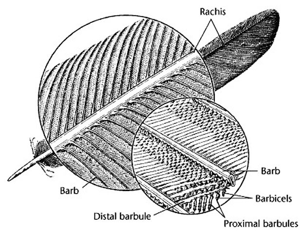 Struktur / susunan bulu burung