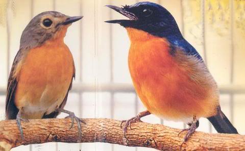 Teman bagi burung tledekan