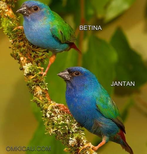 Bondol-hijau Triwarna atau Tricoloured Parrot-finch (Erythrura tricolor)