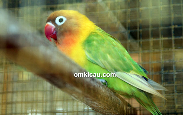 Lovebird Arthur