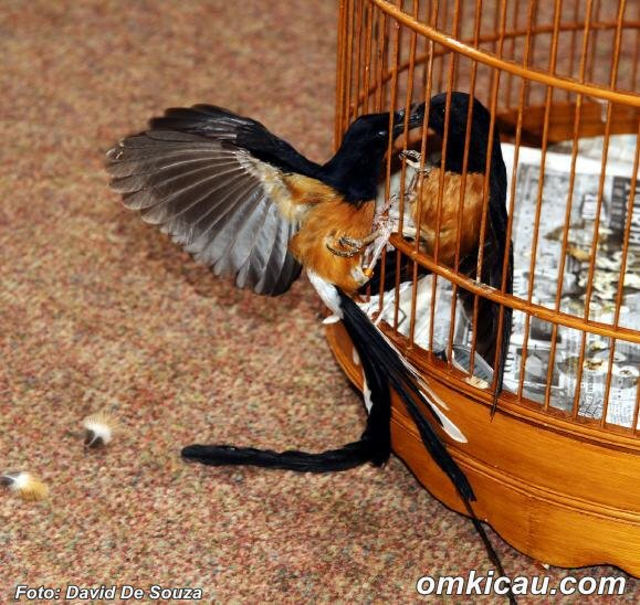 Burung agresif