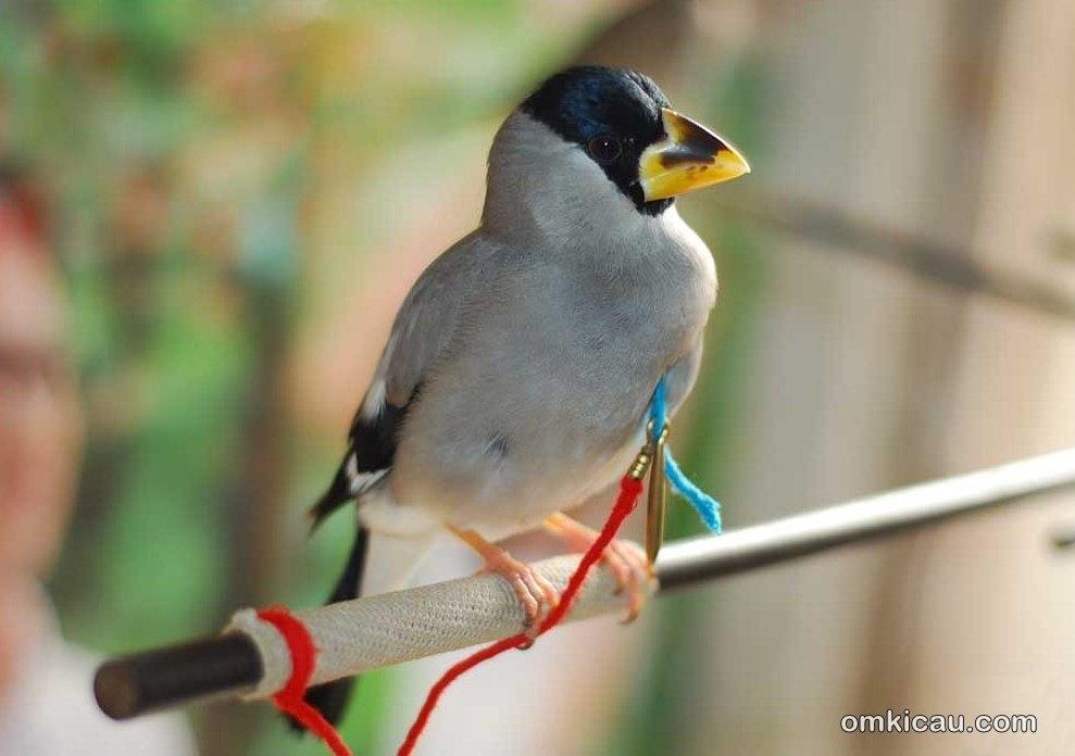 Chinese grosbeak ata blacktail hawfinch