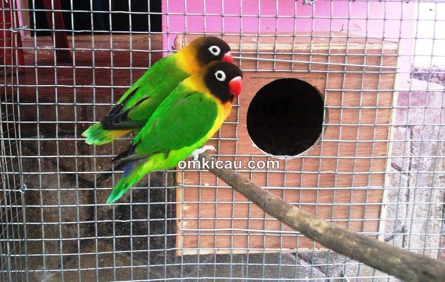 Burung lovebird indukan