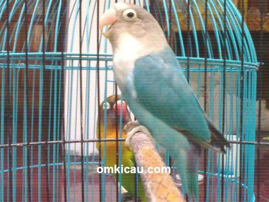 Memaster burung lovebird