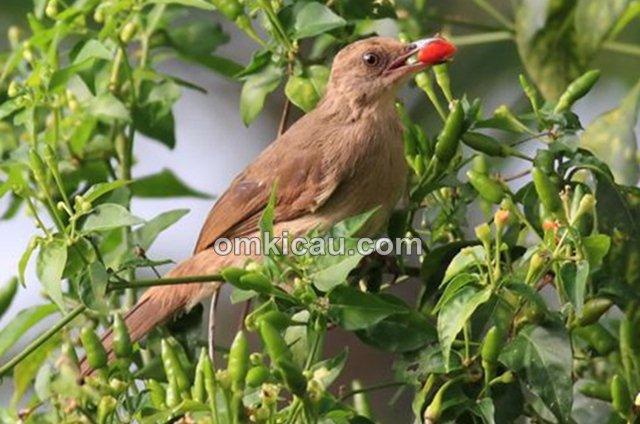 Cabai merah untuk burung