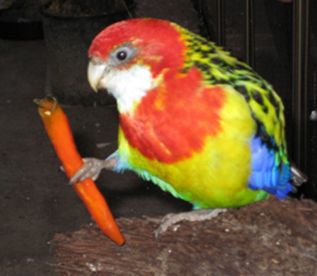 burung pemakan bijian