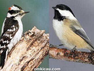 Suara burung pelatuk downy dan black-capped chikadee