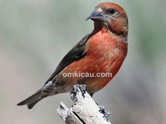 burung red crossbill
