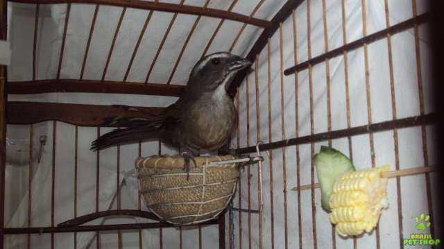 Burung trinca ferro