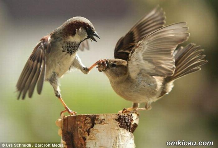 burung teritorial