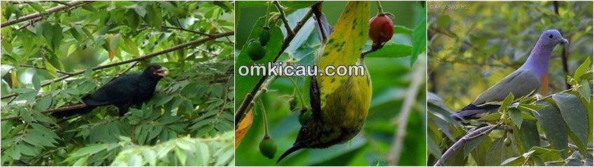 Burung di pohon kersen