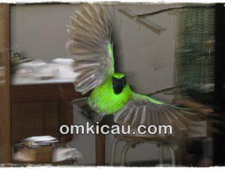 Suara alam untuk terapi cucak hijau
