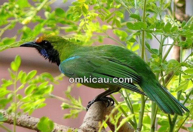 Cucak hijau burung yang mudah bunyi tapi juga mudah stress