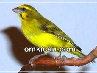 download suara kicauan burung mozambik
