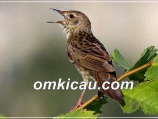 burung suara belalang