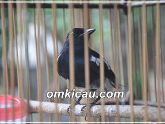 Metode cabut voer untuk burung bakalan