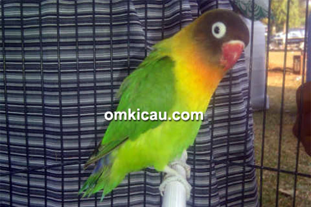 feat lovebird AB Ical