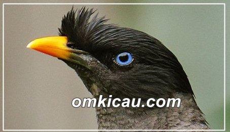 Mengenal ragam jenis burung kerak popular