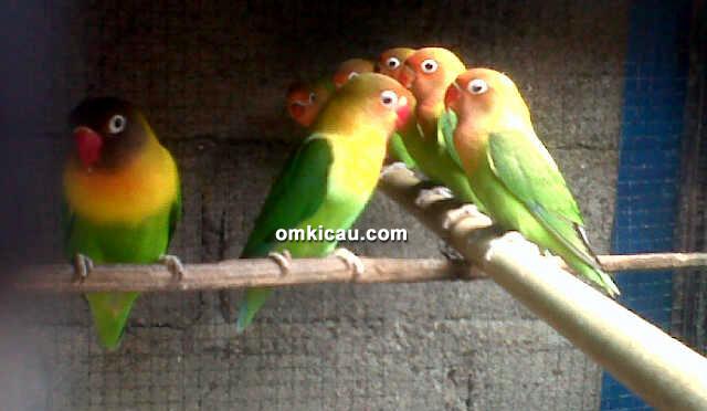 Lovebird taiwan