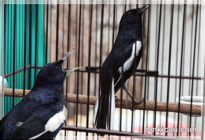 Suara masteran untuk burung kacer