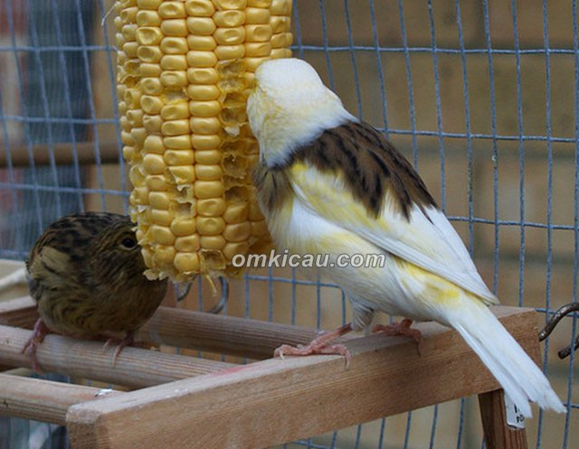 burung pemakan biji-bijian
